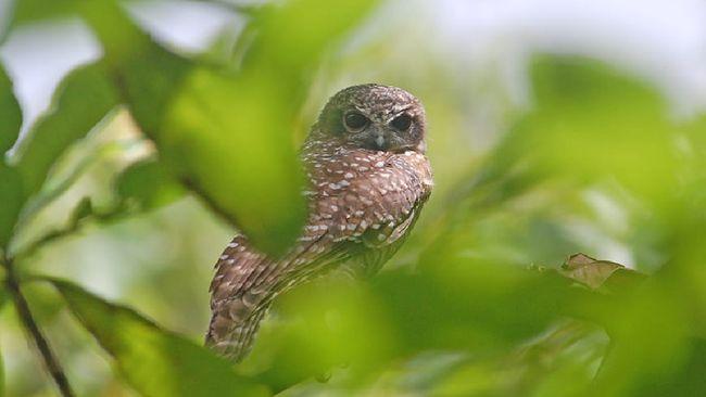 Tiga burung langka di Indonesia status keterancamannya semakin kritis seiring dengan makin tingginya jumlah burung itu hilang hutan.