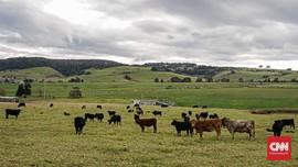 Impor dari Australia Susut, Populasi Sapi RI Terancam