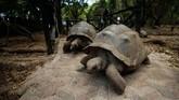 Aldabra Giant Tortoise merupakan spesies kura-kura terbesar di dunia. Hewan yang memiliki tempurung dan berjalan lambat ini berasal dari Pulau Aldabra, Seychelles.