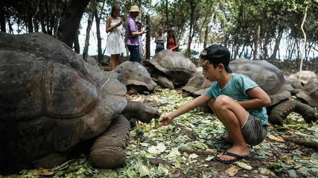 Turis bisa memberi makan kura-kura raksasa ini saat berkunjung ke Pulau Changuu.
