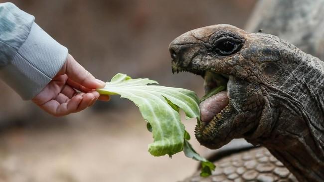 Ukuran Aldabra Giant Tortoise mirip dengan Galápagos Giant Tortoise, dengan diameter tempurung 122 cm dan berat tubuh 250 kg. Ukuran kura-kura betina lebih ringan sedikit dibandingkan yang jantan. Usianya bisa mencapai 200 tahun.