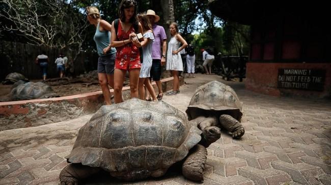 Populasi Aldabra Giant Tortoise semakin menurun karena perburuan di zaman penjajahan. Saat ini jenisnya dilestarikan di Pulau Changuu.