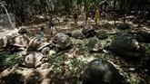 Usaha pelestarian semakin digalakkan mengingat populasi kura-kura raksasa ini hanya sekitar 100 ribu ekor di dunia.