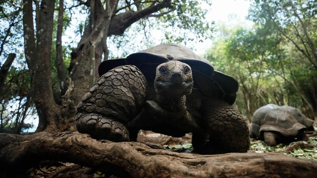 Selain di Pulau Changuu, kura-kura raksasa ini juga dilestarikan di Taman Nasional Sainte Anne Marine (Seychelles), Mauritius, dan Rodrigues.