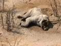 VIDEO: Perburuan Ancam Populasi Gajah di Botswana