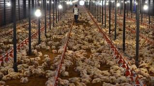 Peternak Ayam Hadapi Empat Persoalan di Tengah Pandemi Corona