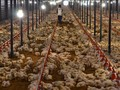 Harga Ayam Jatuh, Kemendag Klaim Kelebihan Pasokan