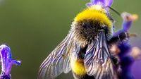 51042b1e 01f5 40f3 b114 8f5bf8df7996 - Perjuangan Lebah Bertahan dari Kepunahan