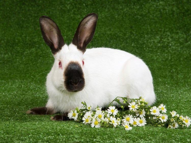 Kelinci merupakan salah satu binatang yang cocok untuk dipelihara anak-anak. Simak 5 ras kelinci yang cocok dipelihara anak-anak, Bun.