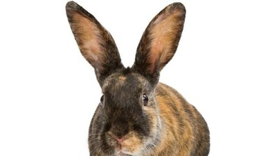 5 Ras Kelinci yang Cocok Dipelihara Anak-anak