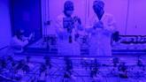 Kanada resmi melegalkan ganja rekreasional. Sebanyak 24 siswa diberikan mandat untuk menanam dan merawat tanaman ganja.