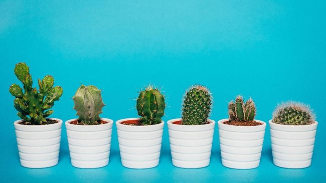 Cactus plants in white flower pots arranged by size and length of thorns
