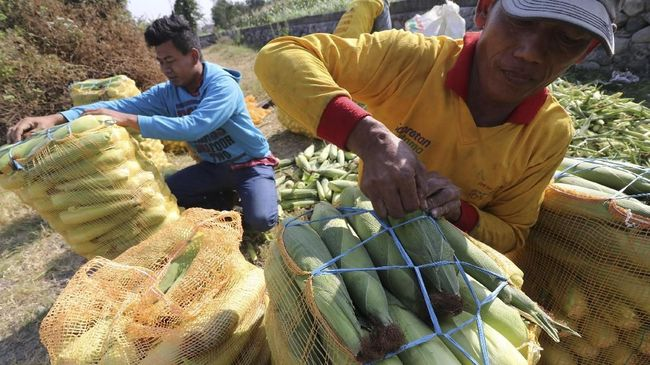 Tiga negara yang rutin sebagai tujuan ekspor jagung manis Sumatra Utara adalah Singapura, Malaysia, dan Jepang.