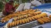 Peternak dan produsen pakan yang tergabung dalam Pinsar dan Gopan menjerit karena harga jagung melambung.