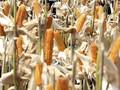 Kemendag Jamin Jadwal Impor Jagung  Sebelum Masa Panen