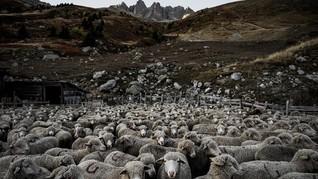 Kapal Pengangkut Ribuan Domba Terbalik di Laut Hitam