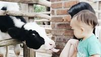 <p>Seru banget nih kasih makan sapi. Ternyata Kenzo nggak takut ya dekat-dekat dengan sapi. (Foto: Instagram @gracenat) </p>