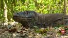 VIDEO: Rencana Penutupan Sementara Taman Nasional Komodo