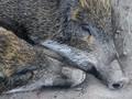 Warga Medan Keluhkan Bangkai babi di Sungai