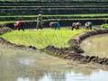Daya Beli Petani Turun pada Juni 2019