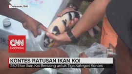 Unik, Ratusan Ikan Koi Dibungkus Plastik untuk Kontes