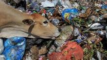 Lenguh Berat Sapi Pemakan Sampah dan Racun di Yogyakarta