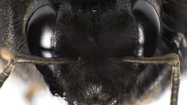Lebah Raksasa Pembunuh Asli Asia 'Hijrah' ke Amerika Serikat