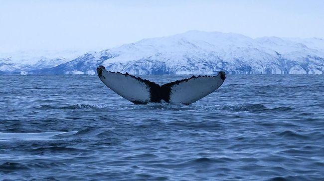 Punya nama latin Balaenoptera Musculus, paus biru memiliki ukuran lebih besar dari sejumlah dinosaurus raksasa yang pernah ditemukan.