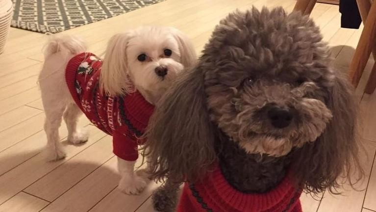 Dua anjing imut yang mirip boneka ini peliharaannya Sthepanie Lee, pemeran Oh Hel Ro di serial dramaThe Last Empress