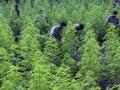 Puluhan Pohon Ganja Tumbuh Subur di Gunung Guntur Garut