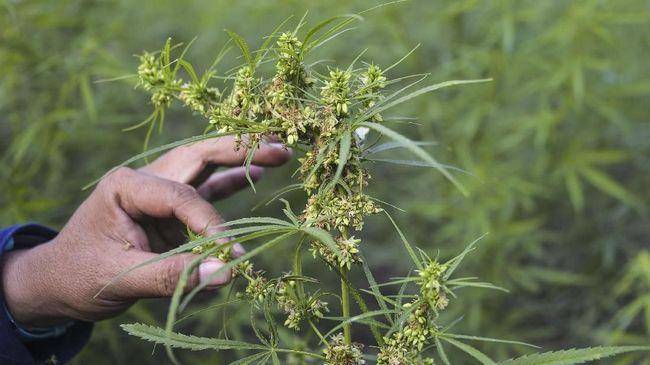 Anggota Komisi VI DPR dari Fraksi PKS Rafli mengusulkan melegalkan tanaman ganja sebagai komoditas ekspor.