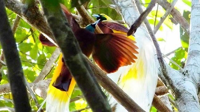 Ada 10 jenis spesies baru burung di Sulawesi Tengah dan Maluku Utara yang dikumpulkan di kawasan yang berjuluk Wallacea itu.