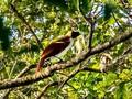 Ekowisata 'Bird Watching' di Papua Gandeng Suku Adat