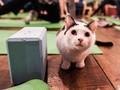 FOTO: Setelah Kambing, Kini Saatnya Yoga Bersama Kucing