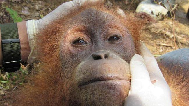 Tim penyelamat mengevakusi orangutan 'Pertiwi' dari perkebunan sawit di Aceh, dekat lokasi temuan orangutan yang ditembak 74 kali, dalam kondisi kurang gizi.