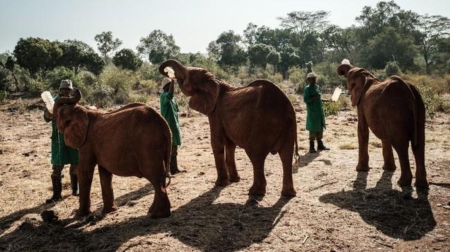 Perburuan gajah di Kenya adalah genosida yang sudah berlangsung lama, namun kali ini para bayi gajah itu memasuki babak baru yang lebih menyenangkan.