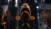 Mengenal Blobfish, Ikan Mirip Agar-agar Terjelek di Dunia