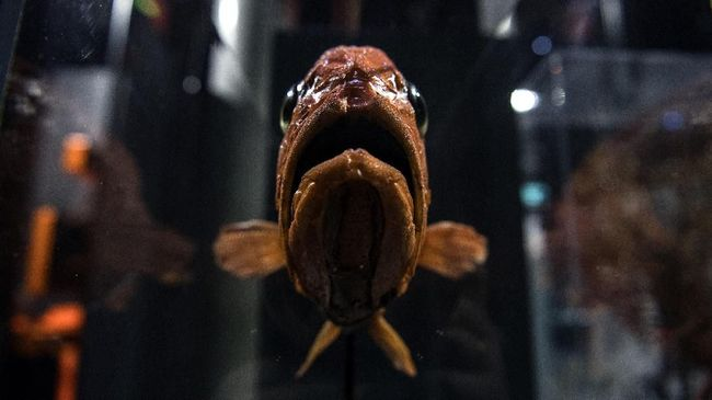 Blobfish memiliki penampilan yang sulit dideskripsikan karena mirip dengan agar-agar yang meleleh karena sinar terik matahari.
