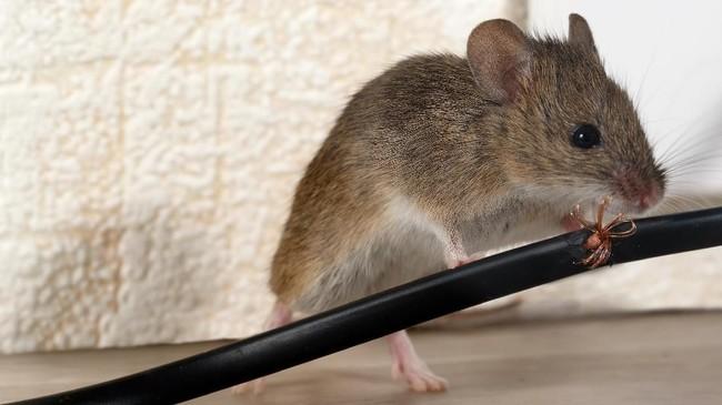 Nestapa Petani hingga Napi Akibat Wabah Tikus di Australia