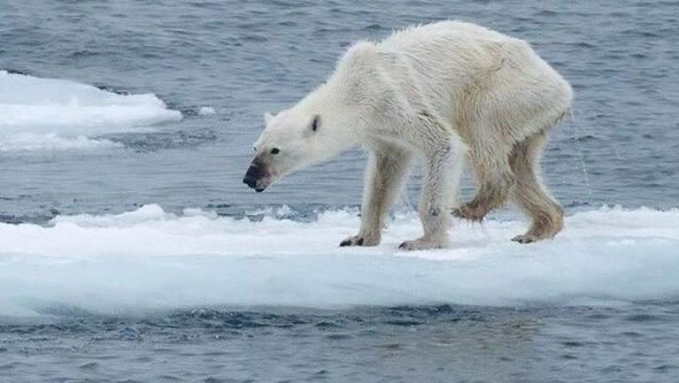 Foto ini merupakan hasil penelitian dari tim US Geological Survey yang menunjukkan dampak pemanasan global terhadap penyusutan es di Kutub Utara. Penyusutan es membuat beruang kutub jadi kesulitan mencari mangsa untuk dimakan.