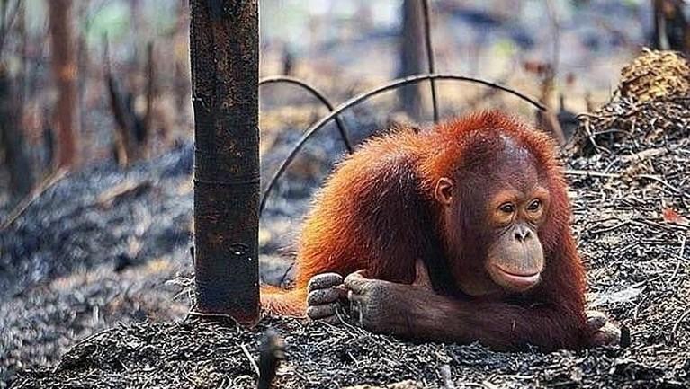 Kebakaran hutan di wilayah Sumatera dan Kalimantan, Indonesia membuat habitat orang utan menjadi terancam. Dalam foto ini terlihat salah satu orang utan yang populasinya terancam punah, sedang meratap di atas lahan bekas kebakaran.