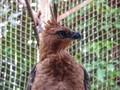 Mengenal Elang Jawa, Garuda si 'Penguasa Langit Jawa'