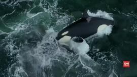 VIDEO: Orca Serang Paus Abu-abu di Perairan California