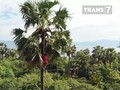 VIDEO: Asal Usul Sophia, Minuman Fermentasi Tanah Flores