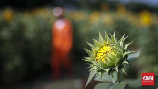 Seperti tanaman lainnya, ada beberapa hal yang perlu diperhatikan saat merawat bunga matahari. Berikut cara mudah merawat bunga matahari.