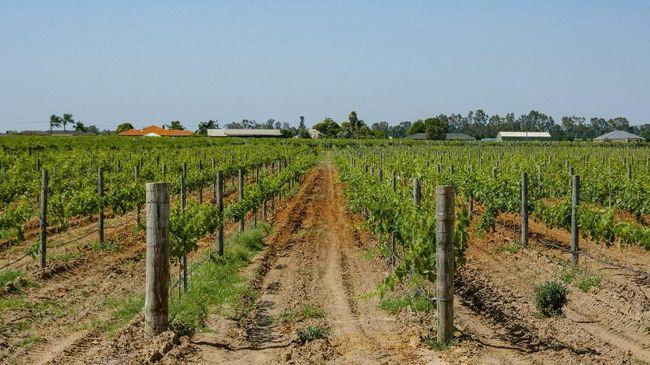 Penggemar wine jangan lupa datang ke Swan Valley untuk menikmati wisata ke ladang anggurnya.