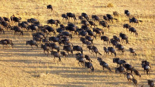 Ratusan ribu turis dari penjuru dunia bersiap mendatangi Maasai Mara pada Agustus untuk menyaksikan