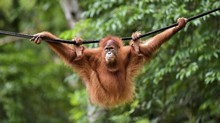 Sebab Orangutan Kalimantan Berambut Halus bak Baru dari Salon