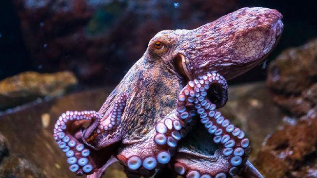 LIPI mengungkapkan jenis gurita cincin biru beracun di Indonesia yang belakangan dibuat heboh karena dipegang turis di Bali.