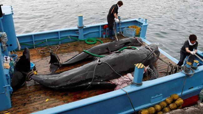 Mulai besok Jepang menyatakan melagalkan kembali perburuan paus untuk tujuan komersil setelah negara itu keluar dari komisi penangkapan ikan paus internasional.
